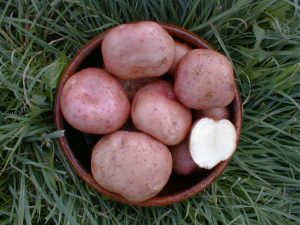 Kerr's Pink Seed Potatoes In Bowl