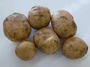Home Guard Seed Potatoes