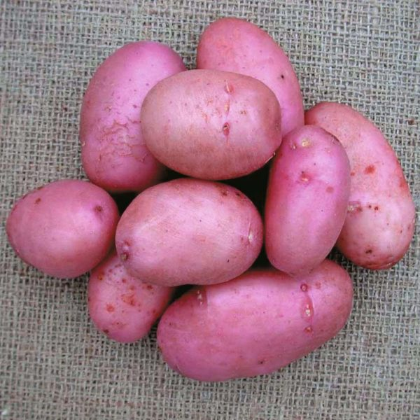 Sarpo Mira Seed Potatoes