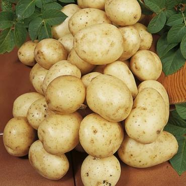 Navan Seed Potatoes
