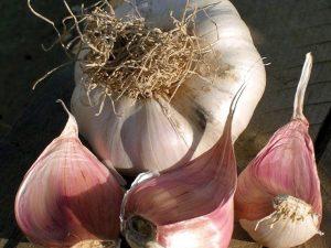 picardy garlic